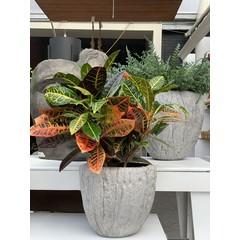 """Croton petra 10"""""""
