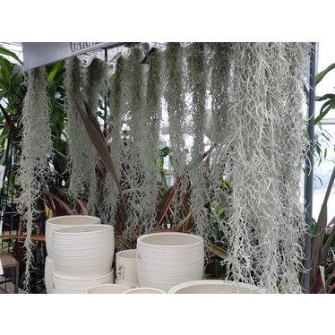 Tillandsia usnoides