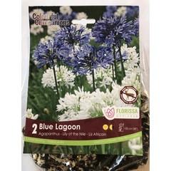 Agapanthus Blue Lagoon (paquet de 2)
