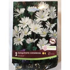 Sanguineria Canadensis (paquet de 2)