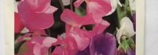 Semences de fleurs