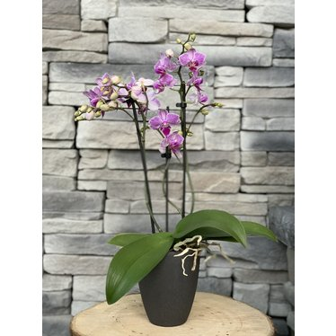 Orchidée Phalaenopsis 4 po