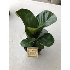 Ficus Lyrata  5po