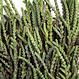 Crassula 'Princess Pine' 3,5 po