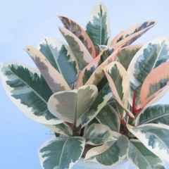 Ficus Tineke 6po