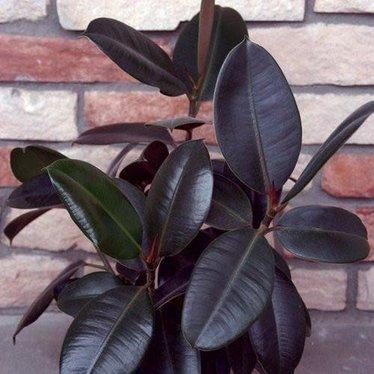 Ficus elastica burgundy 6po