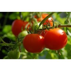 Plant  tomate mega fantastique  11cm