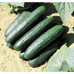 Concombre market bio 11cm