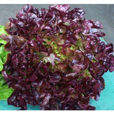 Laitue feuilles de chene cel.10