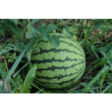 Melon d'eau yellow baby 4po