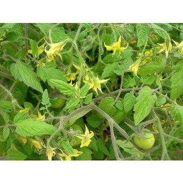Tomates cerises 4.5po