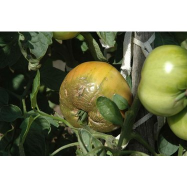 Tomate Cherokee Purple 3gal
