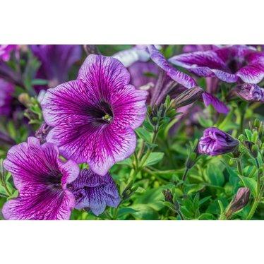 Petunia crazytunia ultra violet