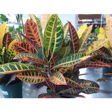 Croton 6 po