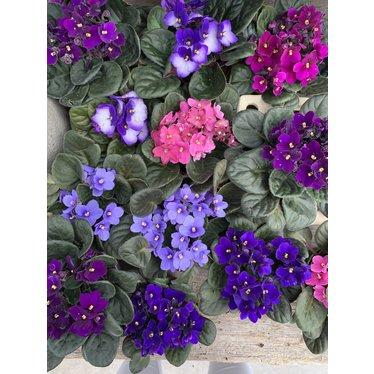 violette africaine 4po
