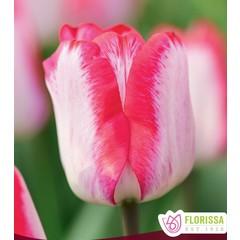 Tulipes Just Kissed 6pqt