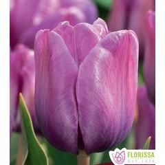 Tulipe Bleu aimable unité
