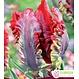 Tulipes Rococo pqt6