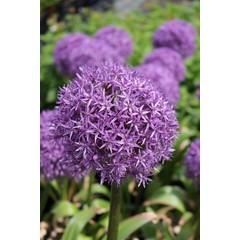 Allium Giganteum pqt 1