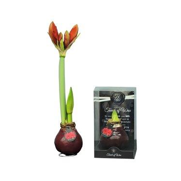 Bulbe amaryllis ciré