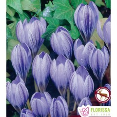 Crocus Cartwrightianus (paquet de 5 bulbes)