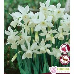 Narcisses Thalia Tops pqt5
