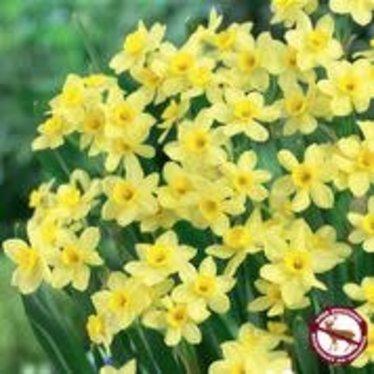 Narcissus Pacific Coast Tops pqt 10