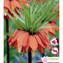 Fritillaria Imperialis Rubra pqt 1