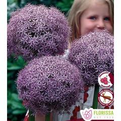 Allium Globemaster pqt 1