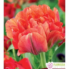 Tulipes Peony Gudoshik pqt6