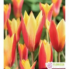 Tulipes Chrysantha tops pqt6