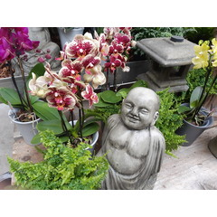 Orchidée Phalaenopsis 5 po