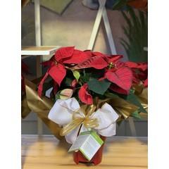 Poinsettia Fondation CLSC rouge 6 po