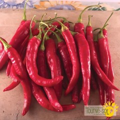 Piment Fort Red Rocket Bio