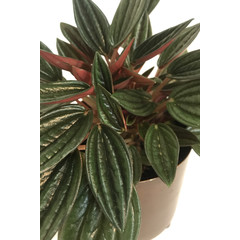 Peperomia Rosso 4 pouces