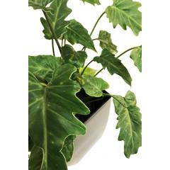 Philodendron Xanadu 6 pouces