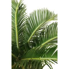 Palmier cycas 6 pouces