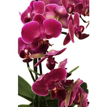 L'Orchidée de l'amour SV-007