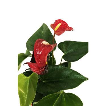 Anthurium de St-Valentin SV-004
