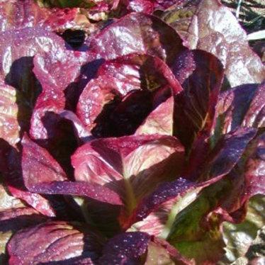 Laitue romaine rouge d'hiver bio