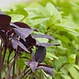Basilic en mélange bio