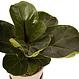 Ficus Lyrata 5 po