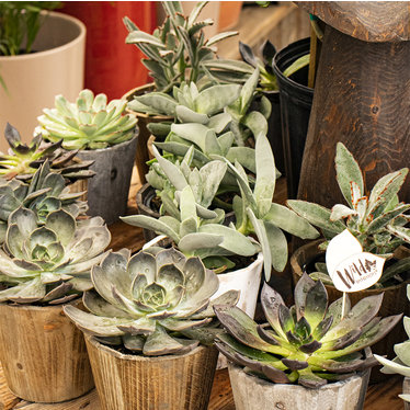 Succulente 5po