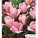 Tulipes Sweet Sixteen pqt 6