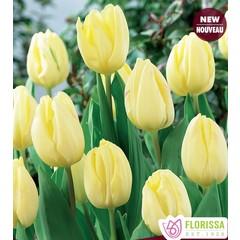 Tulipe Cream Flag unité