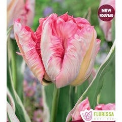 Tulipes Perroquet Elsenburg pqt de 6