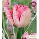 Tulipe Perroquet Elsenburg (paquet de 6 bulbes)