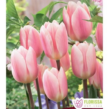 Tulipes Apricot Delight