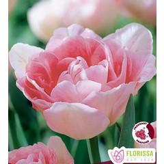 Tulipe pivoine Angelique pqt de 6