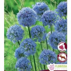 Allium Azureum (paquet de 10 bulbes)